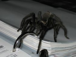 Photo of a tarantula from Mount Diablo.