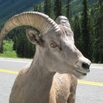 Eye of the Bighorn Sheep