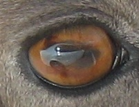 Eye of a Rocky Mountain Bighorn Sheep