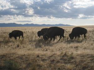Antelope Island bison.