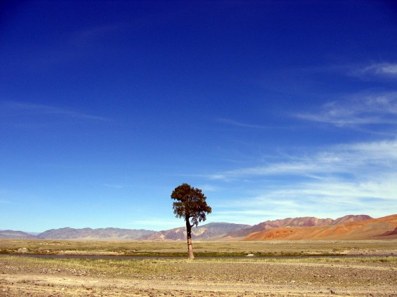 Lone tree in Western Mongolia