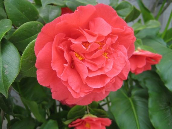 Fresno Temple flower