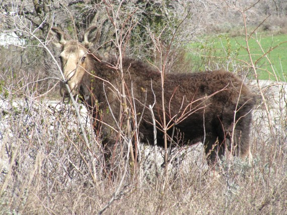 North Fork Park moose