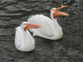 A pair of American White Pelicans