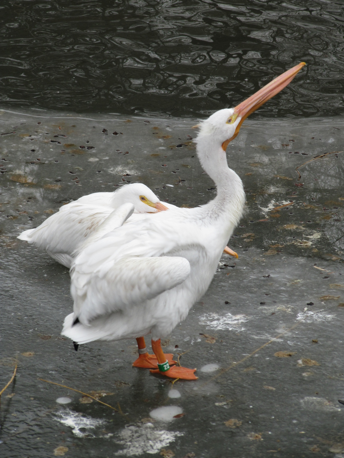 American White Pelicans on ice
