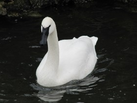 Beautiful Trumpeter Swan