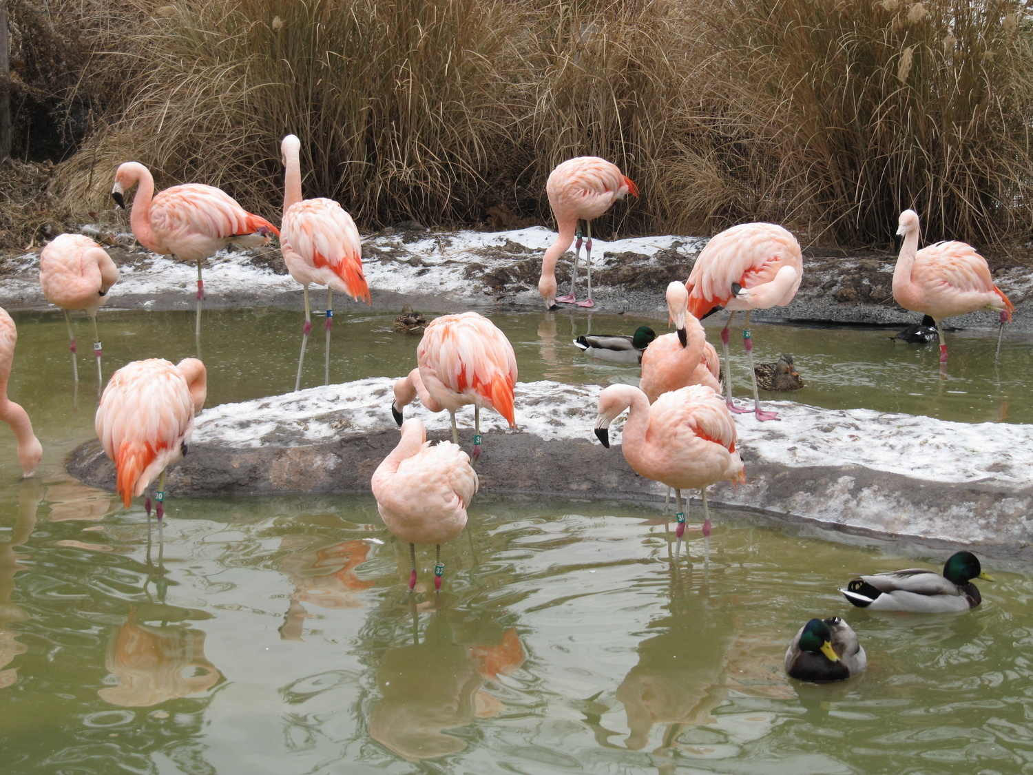 Chilean Flamingos at Tracy Aviary