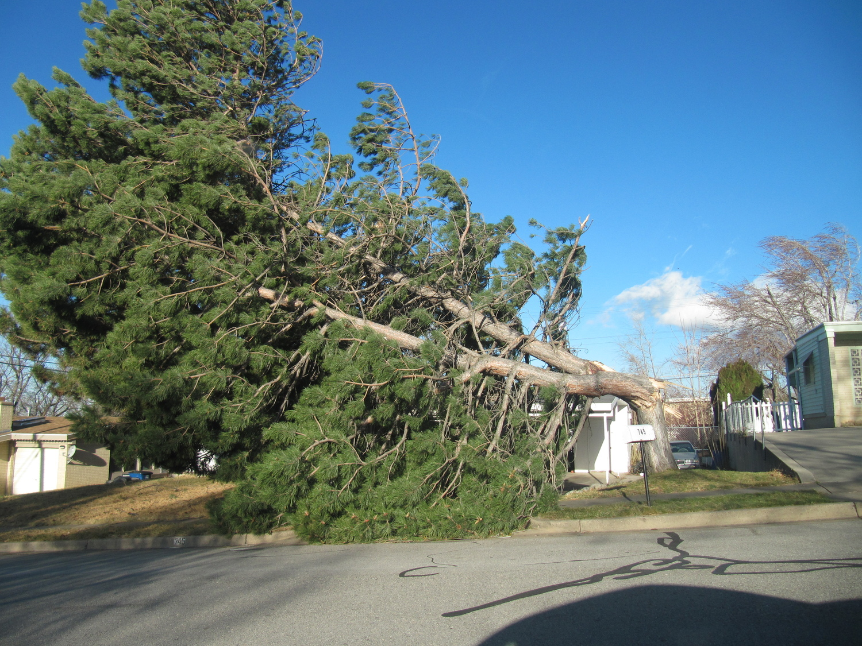 Kaysville_windstorm_downed_tree