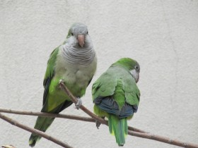 Monks Parakeet