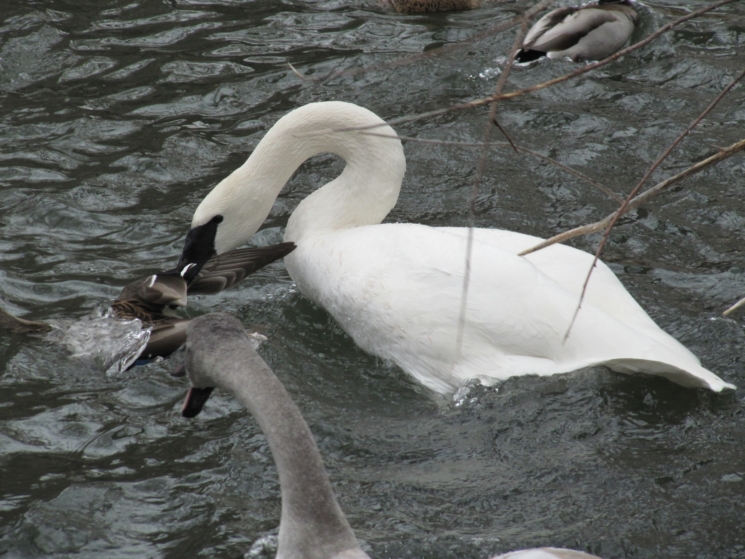 Trumpeter Swans attack duck